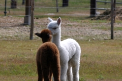 Kissing Alpacas