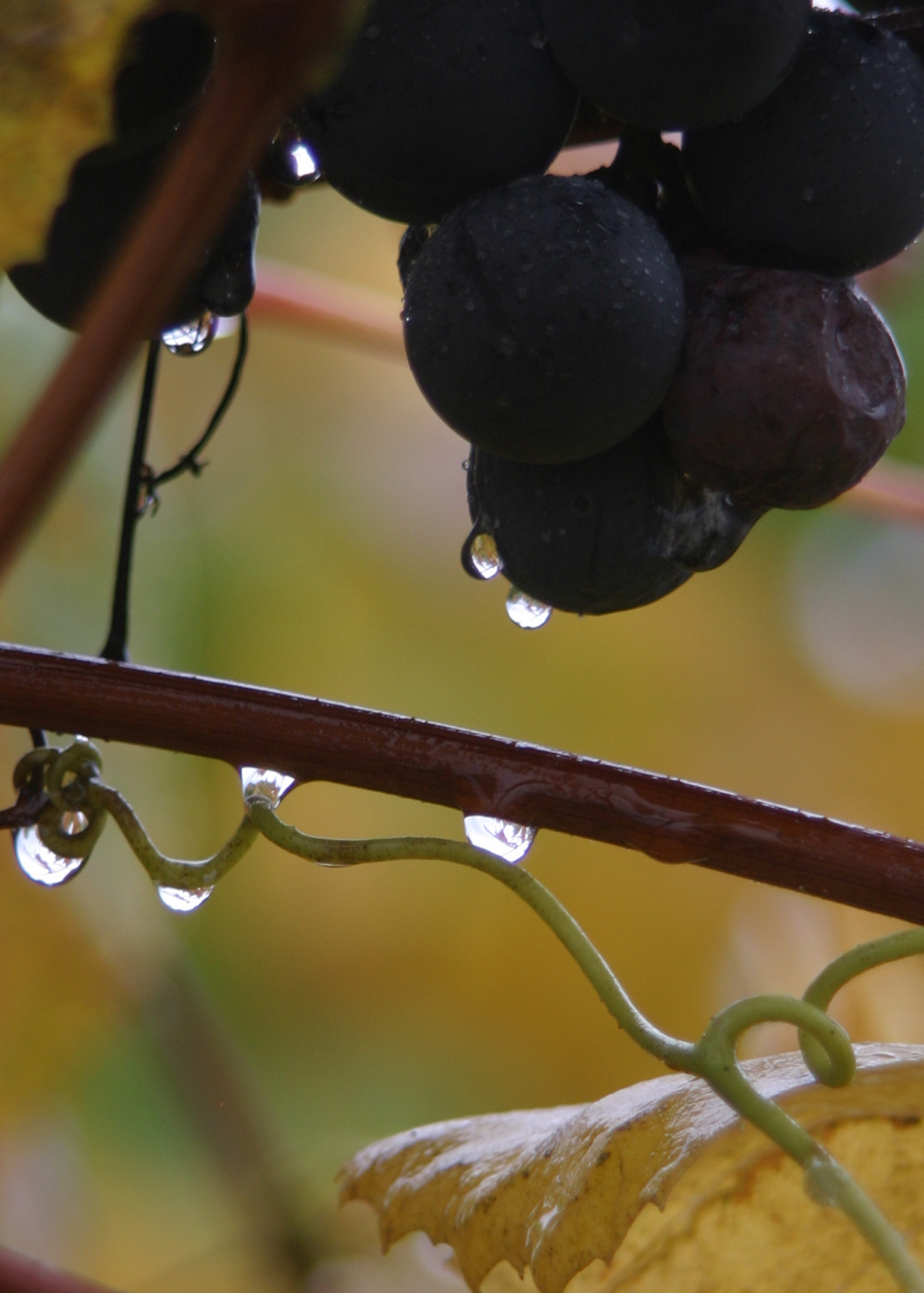 Grapes after rain