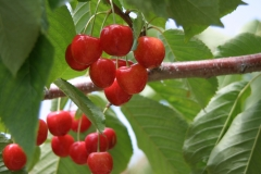 Cherries ready to pick