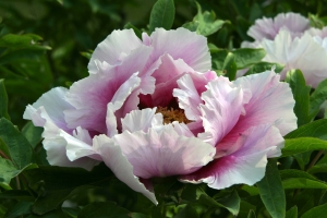 Linwood Gardens is well known for the Festival of Tree Peonies