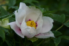 Tree Peony at Linwood Gardens