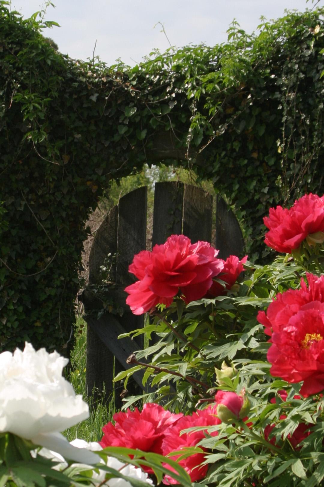 Ivy Gate & Tree Peonies