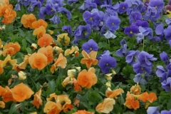 Pansy bed at Highland Park