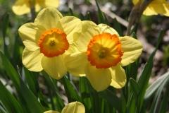 Daffodils on the roadside