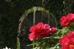 Ivy Gate & Tree Peonies