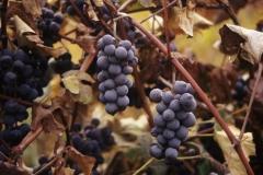 Vineyard on Seneca Lake