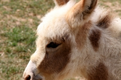 Cowboy, the baby donkey