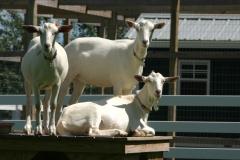 Goats will climb